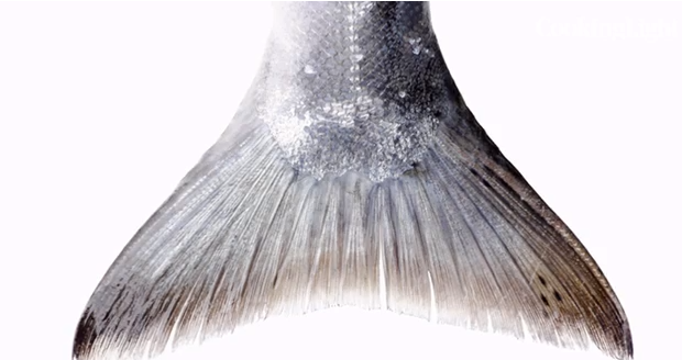 Wild Salmon Fin